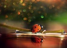 Ladybug вползая на травинке стоковая фотография rf