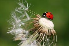 Ladybug. Ladybird sitting on dandelion flower royalty free stock photo