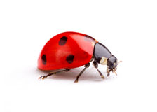 Free Ladybug Royalty Free Stock Photo - 15049295