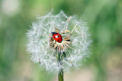 Ladybug. A ladybug sitting on a flower bud royalty free stock images