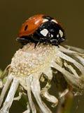 Ladybug. A ladybug sitting on a dry flower Stock Images