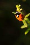 Ladybug imagens de stock