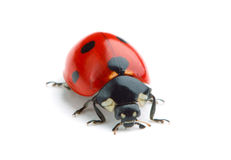 Free Ladybug Royalty Free Stock Photography - 16814287