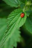 Ladybug. Fotografía de archivo