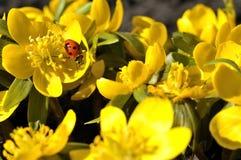Ladybug. Lady beetle and winter aconites Stock Photography