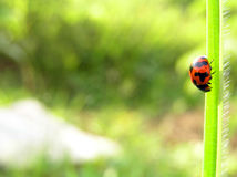 Ladybug. A ladybug moving downwards Stock Photography
