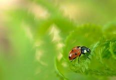 ladybug 2 папоротников Стоковая Фотография RF