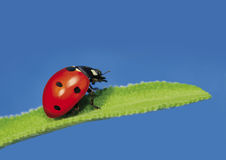 Ladybug 2_2 Royalty Free Stock Photography