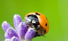 Ladybug 2 fotografía de archivo libre de regalías