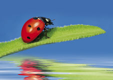 Ladybug 2 Royalty Free Stock Images