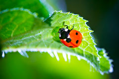 Ladybug Fotografia Stock Libera da Diritti