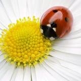 Ladybug Fotografía de archivo