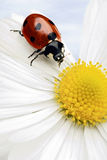 Ladybug fotos de stock royalty free
