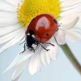Ladybug. On a white flower petals