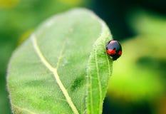 Ladybug. A ladybug climbing on a sunflower leaf Stock Photography