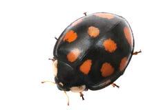 Ladybug Foto de Stock Royalty Free