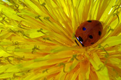 Ladybug Immagini Stock Libere da Diritti