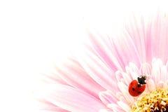 ροζ λουλουδιών ladybug Στοκ εικόνες με δικαίωμα ελεύθερης χρήσης