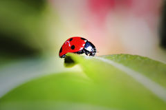 Ladybug. Ladybird bug on a leaf with green and pink background Royalty Free Stock Photography