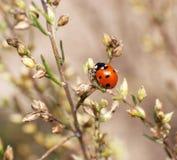 ladybug Стоковое Изображение RF