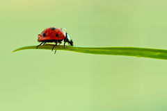 Ladybug Fotos de archivo libres de regalías