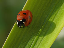 Ladybug. Beautyful ladybug on a colored leaf stock images