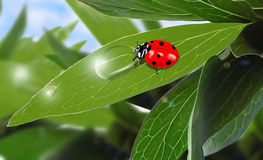 Ladybug. Is drinking dew on the leaf Stock Images