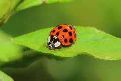 Ladybug Stock Photography