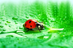 Ladybug. Sitting on a fresh green leaf Stock Photo