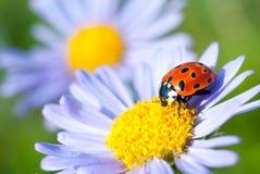 The ladybug Stock Image