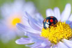 The ladybug Royalty Free Stock Image