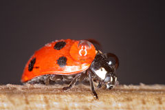 Ladybug. In its natural environment carrying water beads on her back royalty free stock photography