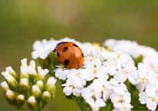 Ladybug. Stock Images