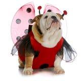 Ladybug бульдога Стоковые Фотографии RF