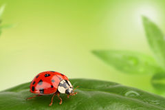 Ladybug. On a leaf in garden Royalty Free Stock Image