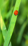 Ladybug. On a green plant royalty free stock photo