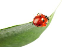 Ladybug. With water drops on green leaf isolated on white Stock Images