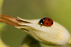 Ladybug. A ladybug on a knot Stock Photo