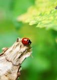 Ladybug Imagem de Stock Royalty Free