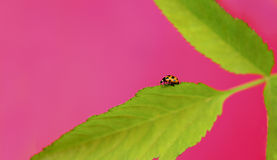 Ladybug. A small insect ladybug running to the edge of the plants in the summer on a pink background royalty free stock photography