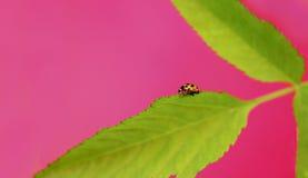 Ladybug. Royalty Free Stock Photography