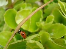 Ladybug. A ladybug crawling up a leaf Royalty Free Stock Photos