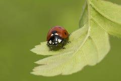 Ladybug Στοκ φωτογραφία με δικαίωμα ελεύθερης χρήσης