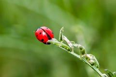 Ladybug Στοκ Εικόνα