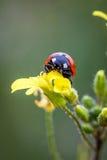 Ladybug Στοκ εικόνα με δικαίωμα ελεύθερης χρήσης