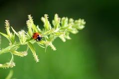 Ladybug Fotos de Stock Royalty Free