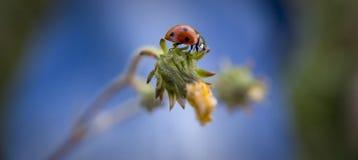 Ladybug. Walking lady bug on a green leaf stock images