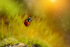 Ladybug в лесе мха Стоковое фото RF