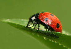 Ladybug. With water drops on green leaf Royalty Free Stock Images