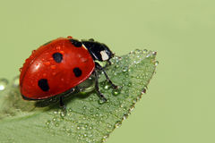 Ladybug. With water drops on green leaf Stock Photos